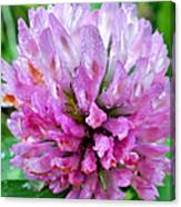 Clover Flower Upclose Canvas Print