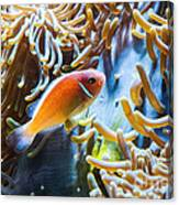 Clown Fish - Anemonefish Swimming Along A Large Anemone Amphiprion Canvas Print