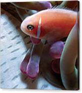 Clownfish 17 Canvas Print