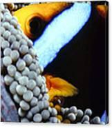 Clownfish 7 Canvas Print
