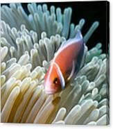 Clownfish 9 Canvas Print