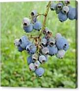 Clump Of Blueberries 3 Canvas Print