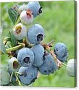 Clump Of Blueberries Canvas Print