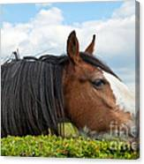 Clydesdale Horse Munching Canvas Print