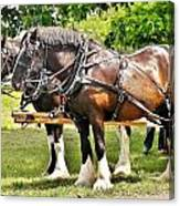 Clydesdale Horses Canvas Print