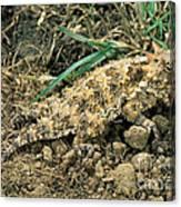 Coast Horned Lizard Canvas Print
