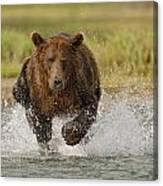 Coastal Grizzly Boar Fishing Canvas Print
