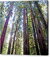 Coastal Redwoods Reach For The Sky In Armstrong Redwoods State Preserve Near Guerneville-ca Canvas Print