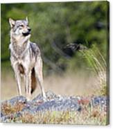 Coastal Wolf Canvas Print