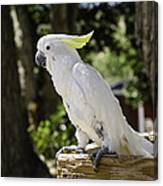 Cockatoo White Parrot Canvas Print