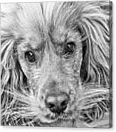 Cocker Spaniel Dog Black And White Canvas Print