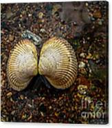 Cockle Canvas Print
