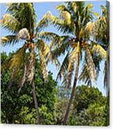 Coconut Palm Trees In Key West Canvas Print