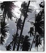 Coconut Trees In Barbados Canvas Print