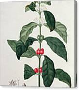 Coffea Arabica From Phytographie Canvas Print