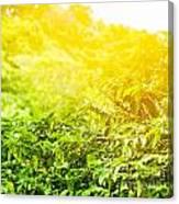 Coffee Plantation Sunny Background Canvas Print