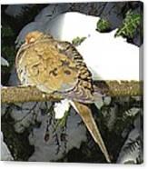 Cold Dove Canvas Print