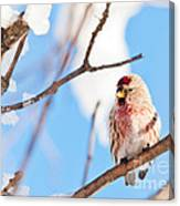 Cold Redpoll Canvas Print
