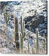 Cold Saguaros Canvas Print
