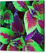 Coleus Color Canvas Print