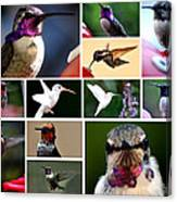 Collage Of Hummers 2 Canvas Print