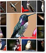 Collage Of Hummers Canvas Print