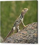 Collard Lizard Canvas Print