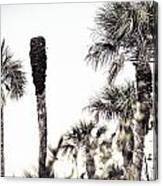 Collier-seminole Sp 24 Canvas Print