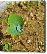Colocasia Antiquorum Seedling And Water Droplet Canvas Print