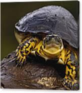 Colombian Wood Turtle Amazon Ecuador Canvas Print