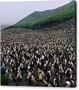 Colony Of Royal Penguin Eudyptes Canvas Print