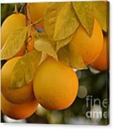 Super Bright Oranges On A Branch Canvas Print