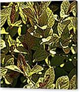 Color Engraving 1 Canvas Print