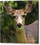 Colorado Deer Canvas Print