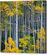 Colorado Fall Color Canvas Print
