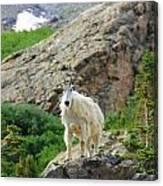 Colorado Mountain Goat Canvas Print
