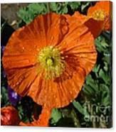 Colorado Poppy Canvas Print