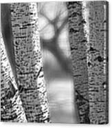 Colorado White Birch Trees In Black And White Canvas Print