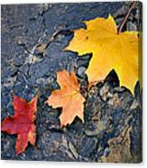 Colored Maple Leaf On Stone Canvas Print