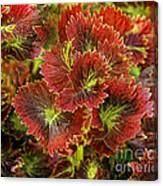 Colorful Coleus Canvas Print