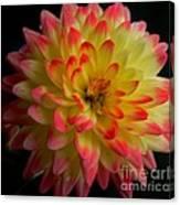 Colorful Dahlia Canvas Print