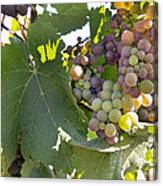 Colorful Grapes Growing On Grapevine Canvas Print