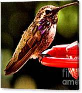 Colorful Juvenile Humingbird Canvas Print
