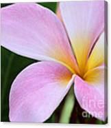 Colorful Pink Plumeria Flower Canvas Print