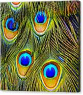 Colorful Plumage Of Peacock Canvas Print