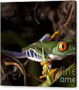 Colorful Red Eyed Tree Frog Canvas Print