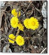 Coltsfoot Canvas Print