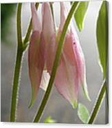Columbine Bud Canvas Print