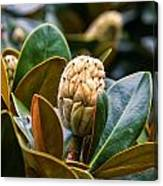 columnar Southern magnolia Canvas Print