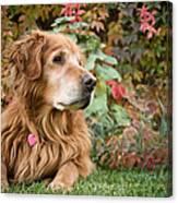 Comanche Autumn - Golden Retriever - Casper Wyoming Canvas Print